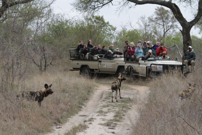Mit Afrikanischen Wildhunden auf Safari